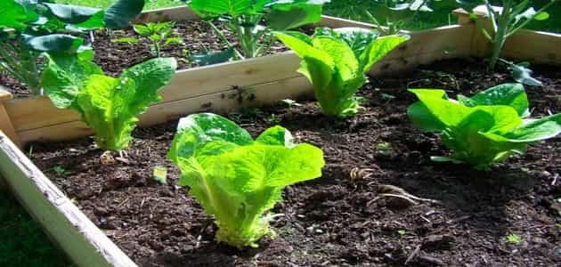 طريقة زراعة الخس في المنزل