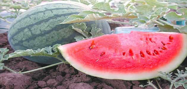 خطوات زراعة البطيخ في المنزل