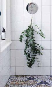 نبات الأوكاليبتوس