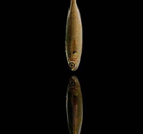 كيف تصطاد سمك البوري